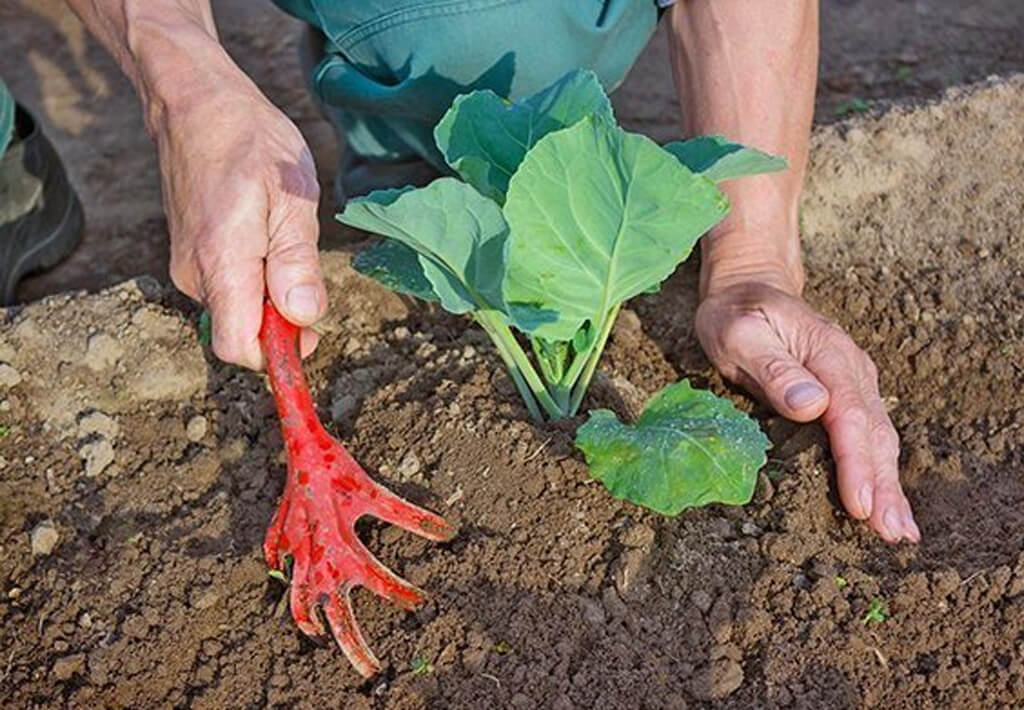 Transplanting cauliflower into the ground